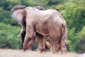 ELEPHANT PANNING 1