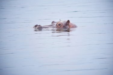A cautious hippo