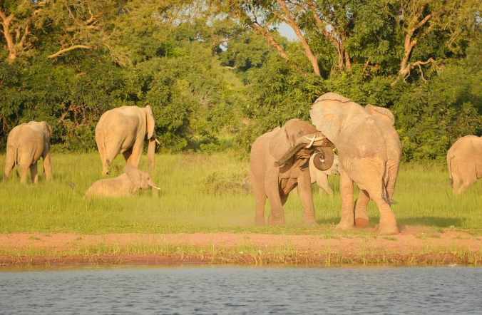 Elephants wrestling