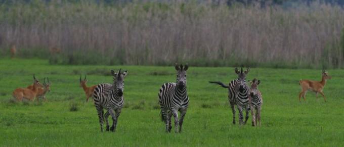 zebra-kasanka-national-park-1400x600